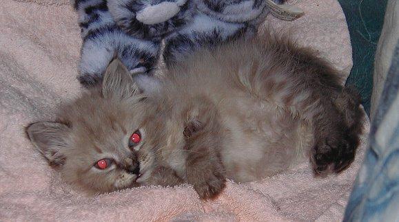 Perch e quando i gatti fanno gli occhi rossi yahoo answers for Gatti con occhi diversi